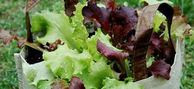 Grow lettuce in a plastic bag plant container